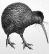 Supporters - Kiwi Bird